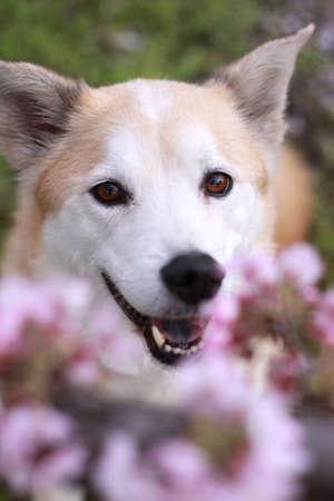 犬と桜を笑顔 写真素材 - 44246567