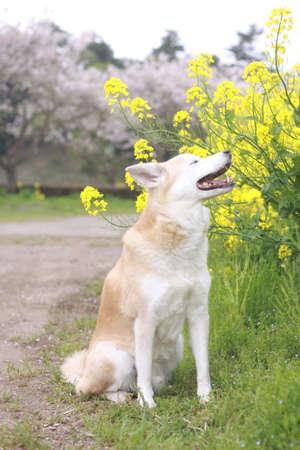 웃는 개와 벚꽃 스톡 콘텐츠