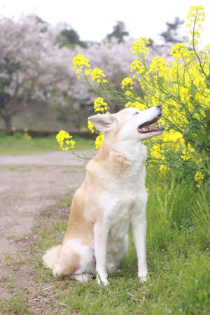 Smiling dog and cherry blossoms