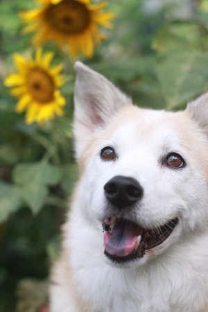 웃는 강아지와 해바라기