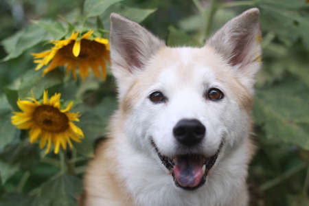 Smiling dog and sunflower