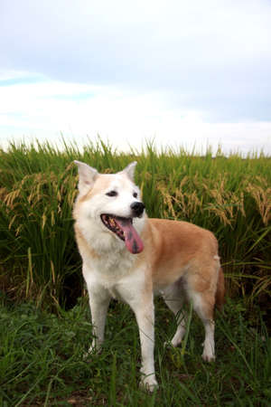 Smile of dogs and rice field