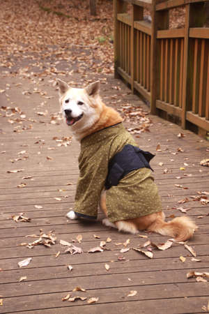 Dog wearing a kimono and Colored leaves 스톡 콘텐츠