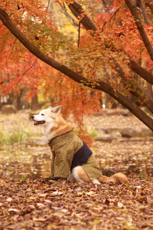 Dog wearing a kimono and Colored leaves Stock Photo