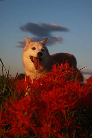 Smile of dog and red spider lily