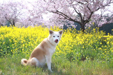 Dog and the full bloom Stock Photo
