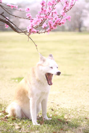Dogs and peach flowers