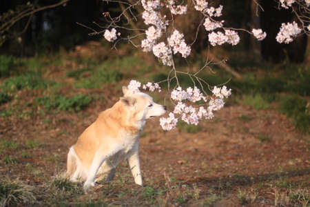 A dog that smells cherry blossoms Stock Photo