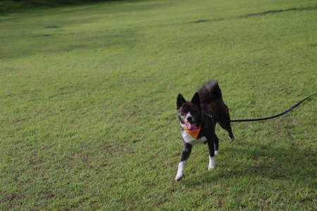 a dog running with a long lead in one's mouth