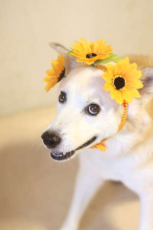 Smiling dog with sunflower ornaments on its head
