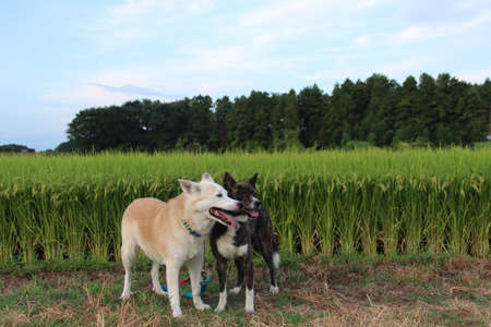 Two dogs staring with a smile against the backdrop of a rice field Stock Photo