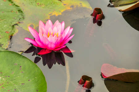 waterlily: Waterlily in water, autumn, botanical garden Stock Photo