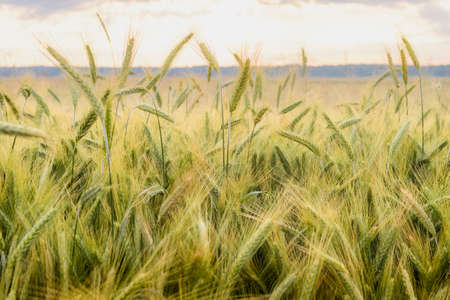 healthy economy: Barley in the field, closeup, selective focus