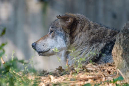 Sad proud predator barely aware of his surrounding and not at all reacting to zoo visitors
