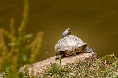 Turtle in outdoor park taking a bath in the sun while resting on wooden stump, water in background Stock Photo