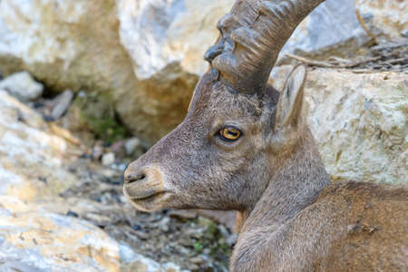 Young alpine ibex, closeup Stock Photo