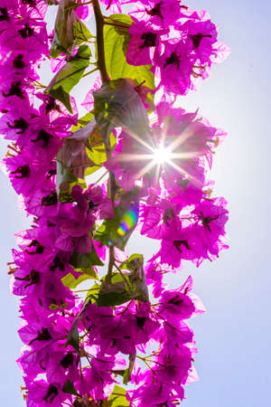 bougainvilleas: Bougainvilleas or Paper flower treetop against blue sky as background and backlit with sunstars pouring through the blossoms Stock Photo