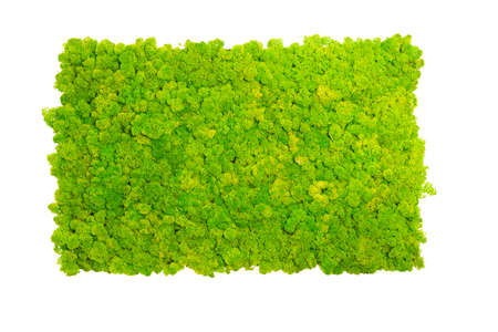 Deer moss wall, green wall decoration made of reindeer lichen Cladonia rangiferina, isolated on white background