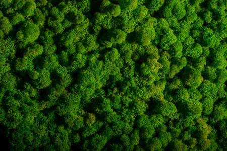 Reindeer moss wall, green wall decoration made of reindeer lichen Cladonia rangiferina Stockfoto