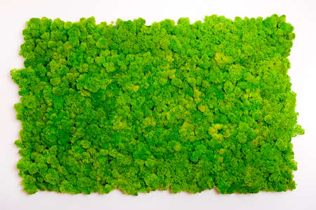 Reindeer moss wall, green wall decoration made of reindeer lichen Cladonia rangiferina