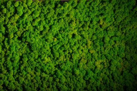 Rentierflechte Wand, Dekoration grüne Wand aus Rentierflechte Cladonia rangiferina