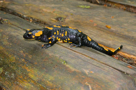 Black yellow spotted fire salamander Salamandra Salamandra Stock Photo