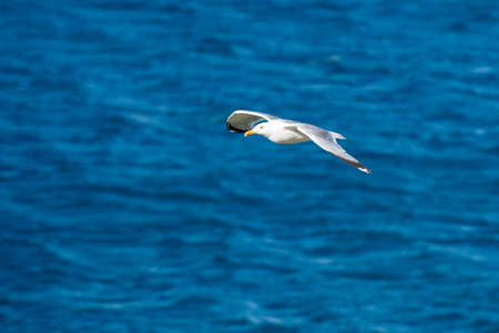 Single Seagull Flying Bird with Open Wings on Clear Blue Sea Stock Photo