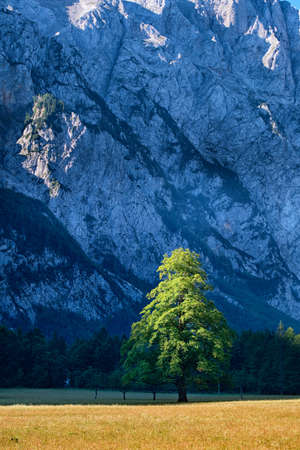 Elm tree on meadow in Logarska dolina, Logar valley, Slovenia Stock Photo