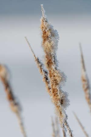 Broadleaf cattail flower, bulrush in the snow in winter, Typha latifolia on frozen lake Stock Photo