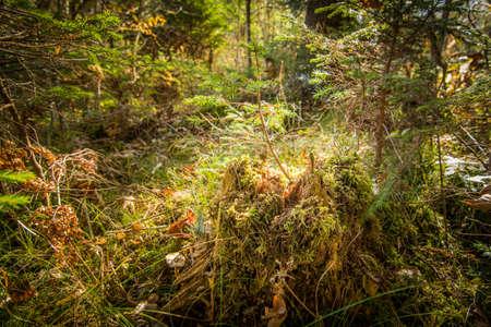 maleza: Summer forest undergrowth vegetation, grass, shrubs, moss, pinewood lit by the sun