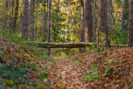 fairy forest in autumn colors with fallen over a path covered in foliage