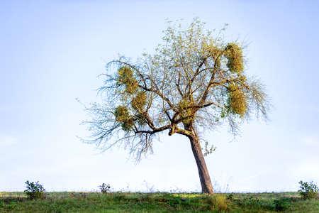 Grote bosjes Mistletoe in oude boom - Viscum-album Stockfoto