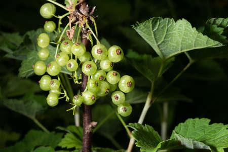 white currant, ribes rubrum, on bush, isolated on dark background
