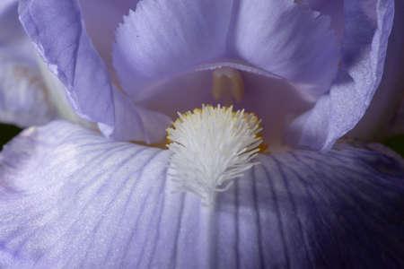 Macro Closeup of blue Bearded iris, Iris Barbata, detail of blossom Stock Photo