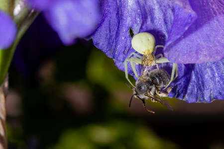 Macro Closeup of a white crab spider feasting on catched bee on Bearded iris, home garden insects