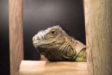 Close-up Head of Green Iguana on branch Фото со стока