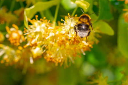 Bumblebee in Linden Flowers, close up of Bumble bee collecting nectar, honey