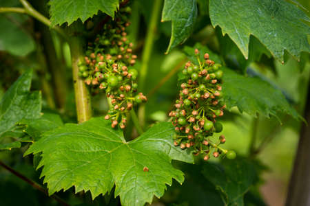 Disease spreading on grape in vineyard, close up, grape vine protection, treating plants with fungicides and insecticides, Integrated Weed and Pest Management