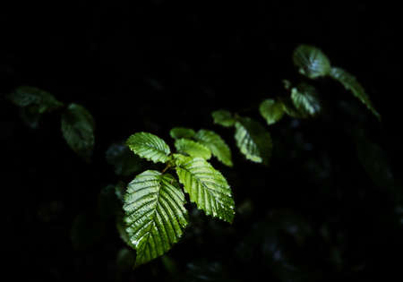 Dark green wet foliage after rain, leafs on branch, close up, selective focus, low key greenery on dark background