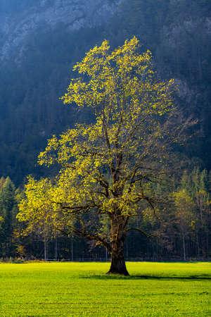 Olmo sul prato in autunno, valle Logarska, Slovenia, montagne sullo sfondo Archivio Fotografico