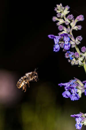 Honey Bees, Apis mellifera, on lavender pollinating and collecting nectar, dark background