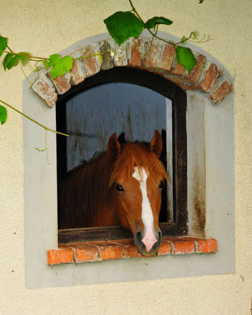 Cute red and brown horse looking through window, animal curiosity