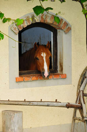 Red and brown horse looking through arched window at farm, copyspace Imagens