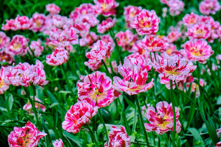 Pink tulips in flower bed, spring in the garden, blooming flowers