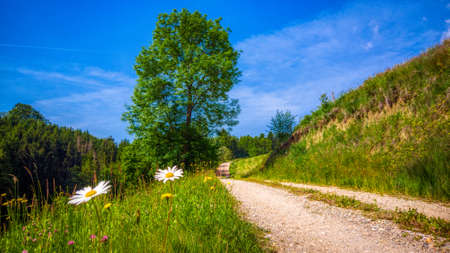 Alpine landscape, a linden tree and gravel path, surrounded with blooming meadows, spring in the mountains, Alpine world, hiking, nature and outdoor concept