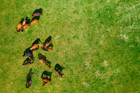 Birds eye view of horses grazing on pasture, aerial top down view of horse herd on green meadow, the sun casting shadows on the grass, copy space