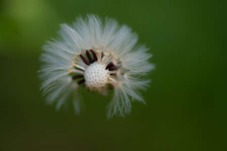 Dandelion with partily blown off seeds against dark green background, close up macro