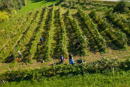 Harvesting grapes in vineyard, aerial view of winery estate in Europe, workers pick grapes, growing wine, aerial view