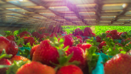 Ripe, freshly harvested strawberries in crates and boxes ready to be shipped to produce, fruit and groceries stores Stockfoto