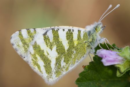 cabbage butterfly resting on a flower in the morning photo